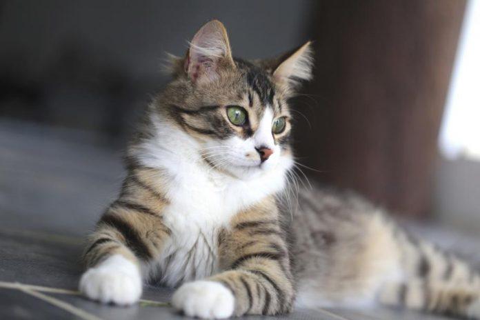 Un chat meurtrier au japon? Une octogénaire découverte avec une vingtaine de balafres