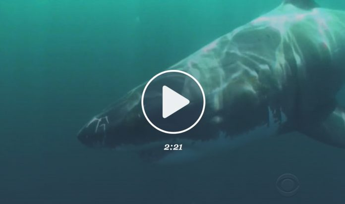 Un requin blanc attaque un pêcheur au harpon