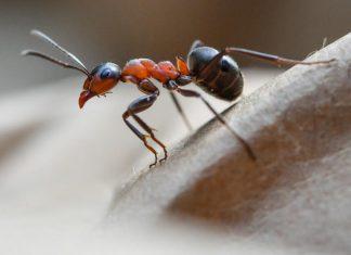 Les fourmis, sources de nouveaux antibiotiques ?