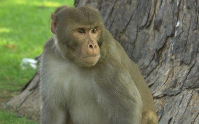 Un Bébé kidnappé par un singe en Inde
