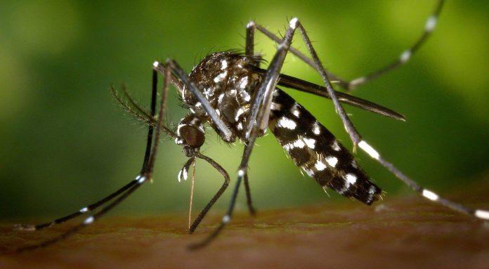 Vigilance rouge : Le moustique-tigre est de retour chez nous