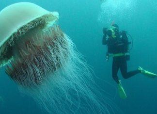 Meduses geantes au large du Pays de Galles