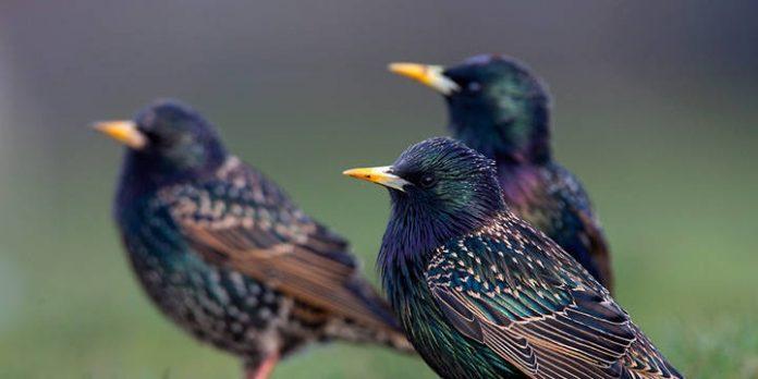 Des oiseaux ivres sèment la panique dans le Minnesota - Etats-Unis