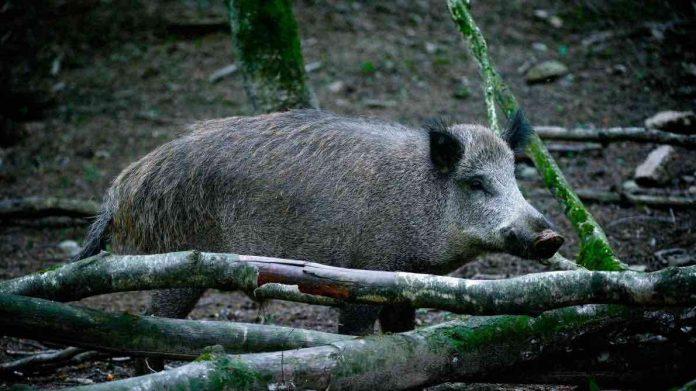 Peste porcine: l'armée mobilisée pour abattre 500 sangliers (Détail)