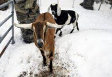 États-Unis: une chèvre élue maire d'une ville (détail)