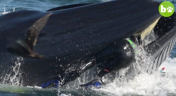 Plongeur avalé par une baleine s'en sort indemne (Vidéo)