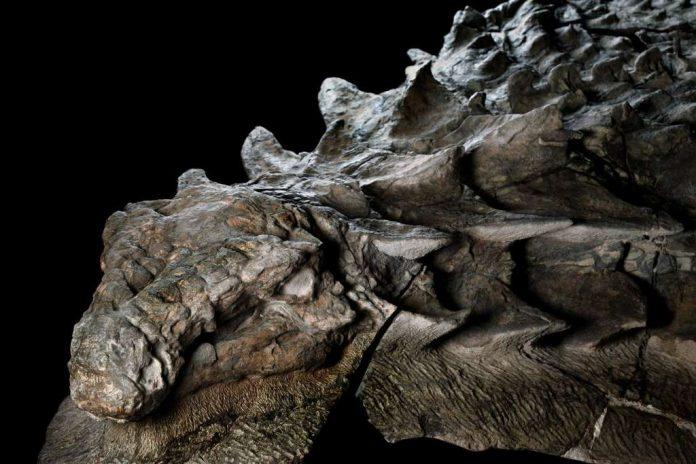 Extinction des dinosaures: découverte de fossiles (détail)