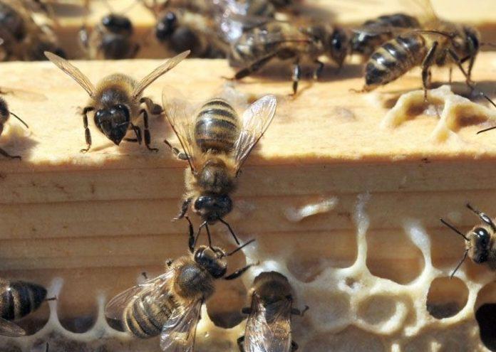 Les abeilles de Notre-Dame sont sauvées (détail)