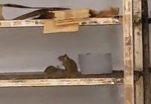 Rats au Carrefour d'evry 2 : La diffusion d'une vidéo, filmée par un client