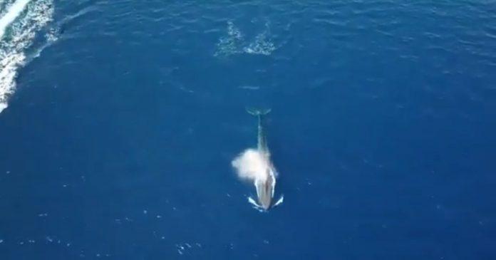 Baleine bleue dans la mer Rouge à l'est du Sinaï