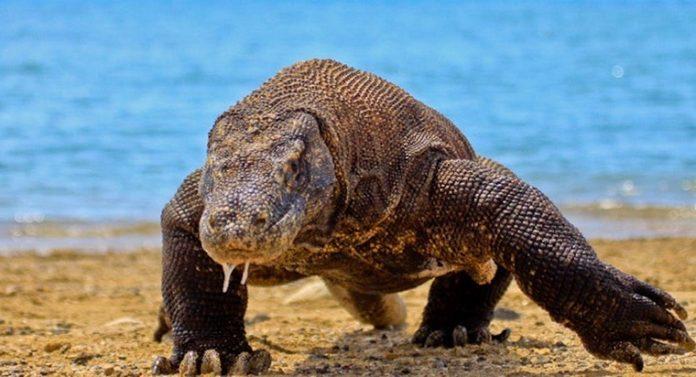 Île de Komodo fermée visiteurs pour protéger les dragons (détail)