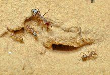 La fourmi la plus rapide du monde bat un nouveau record (détail)