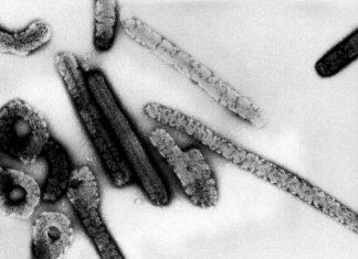 Virus Borna en Allemagne: huit personnes décédées entre 1999 et 2019