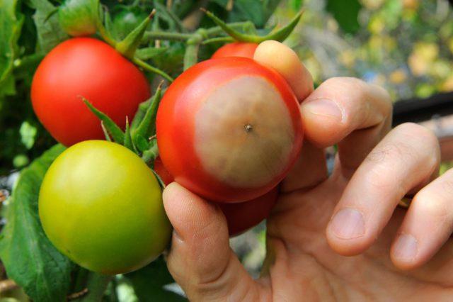 Nouveau virus menaçant tomates et poivrons (détail)