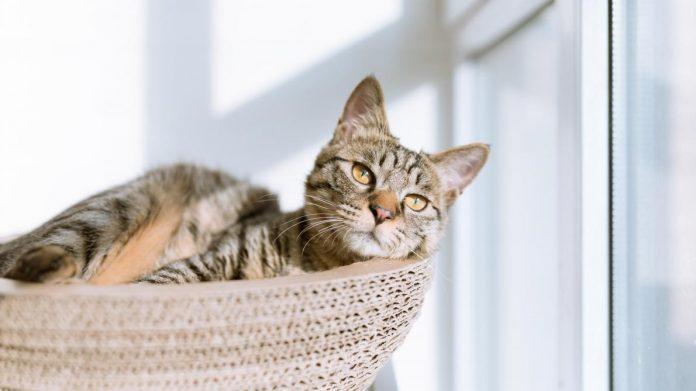 Coronavirus en Belgique: Un chat infecté par son maître (détail)