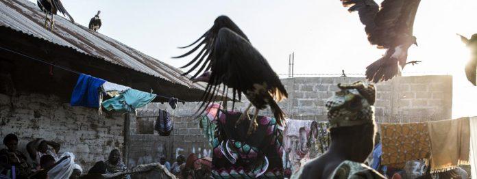 Mystérieuse hécatombe de vautours, victimes d'une grippe aviaire