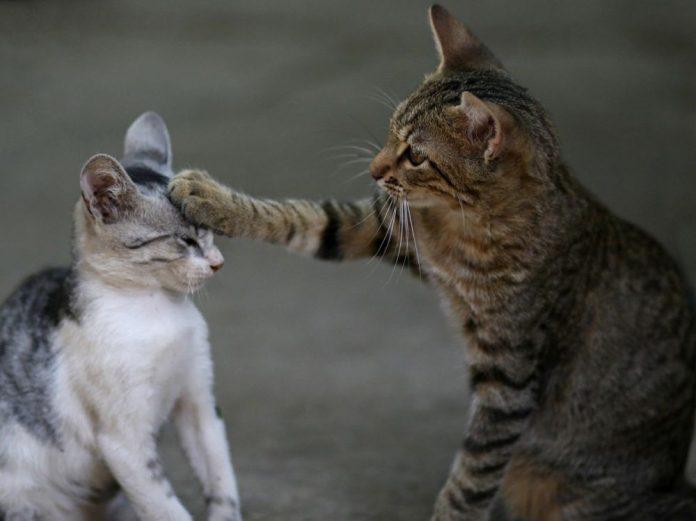 Deux chats malades du coronavirus à New York (détail)