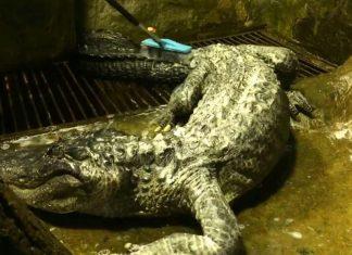 Un alligator légendaire meurt à 84 ans au zoo de Moscou (détail)