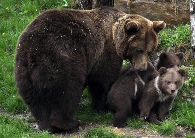 Un ours tué par balles en Ariège, l'Etat va porter plainte (détail)