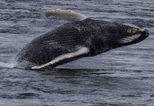 Une baleine à bosse aperçue à Montréal (Image)