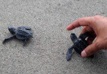 Fréjus: Une tortue marine vient pondre ses œufs sur la plage publique (détail)