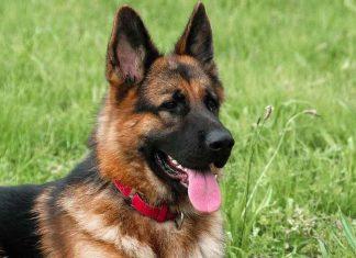 Coronavirus : le premier chien testé positif est mort (détail)