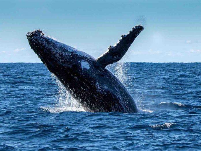 une femme grièvement blessée par une baleine à bosse