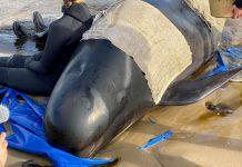 Plus de 380 cétacés sont morts échoués en Australie (détail)