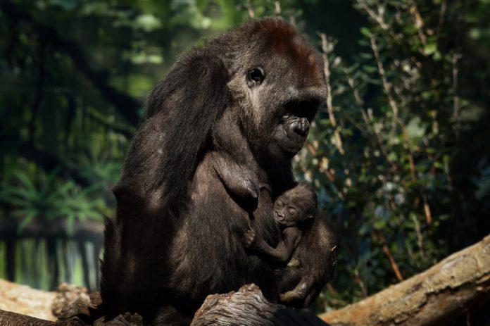 Deux gorilles du zoo de San Diego testés positifs au Coronavirus