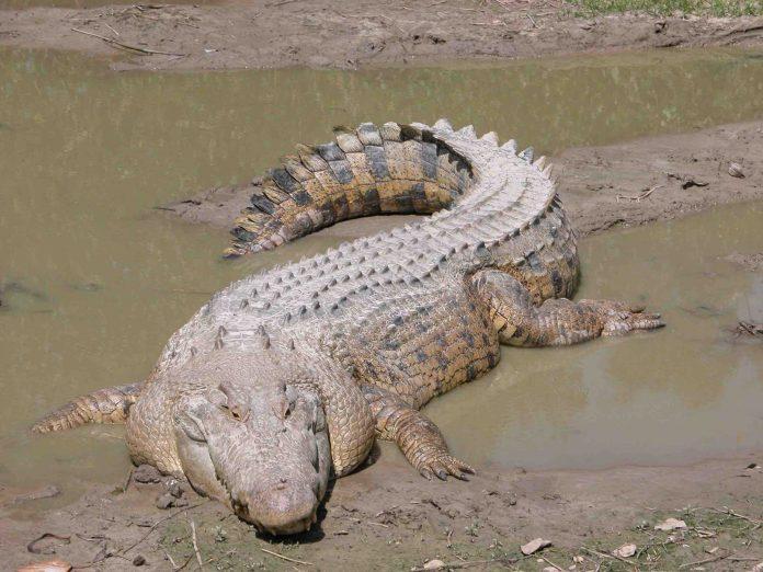 Australie : Les restes d'un pêcheur disparu retrouvé à l'intérieur d'un crocodile