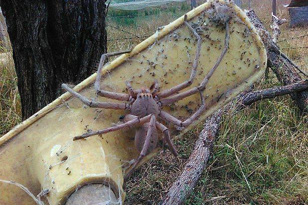 Charlotte, l'araignée géante qui continue de terroriser les internautes des années après (Photo)