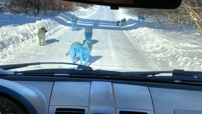 Des chiens bleus aperçus près d'une usine chimique en Russie (Photo)