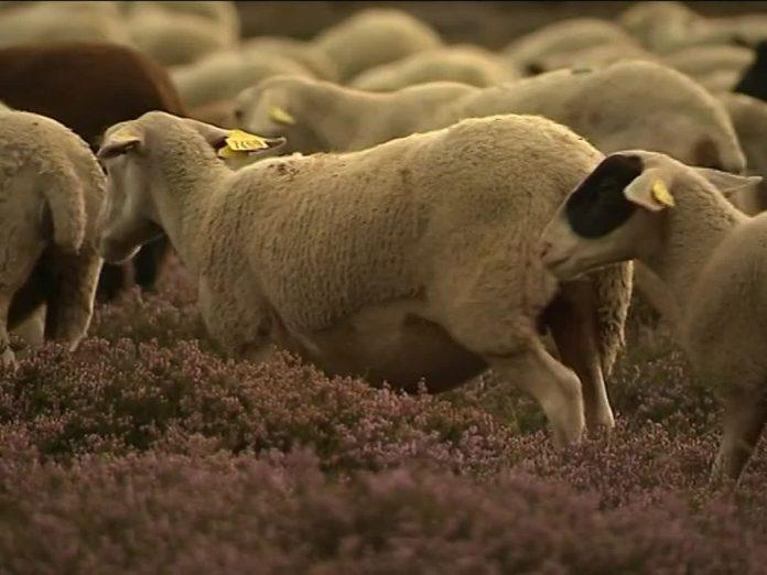 Lozère : Plus d'une centaine de brebis retrouvées mortes et abandonnées dans une ferme (détail)