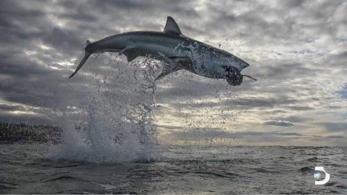 Un grand requin blanc s'envole à plus de 4 mètres de la surface en Afrique du Sud