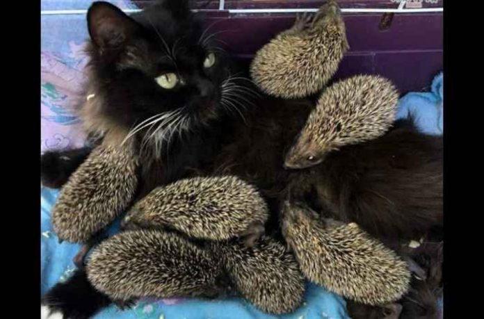 Une chatte se retrouve à allaiter une portée… un peu spéciale ! (VIDEO)