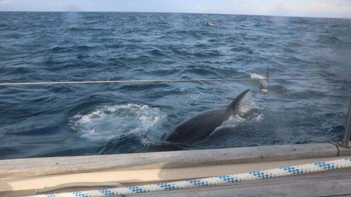 Une trentaine d'orques attaquent un yacht (VIDÉO)